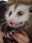 Possum-Confused.jpg