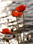 Poppies_1.jpg